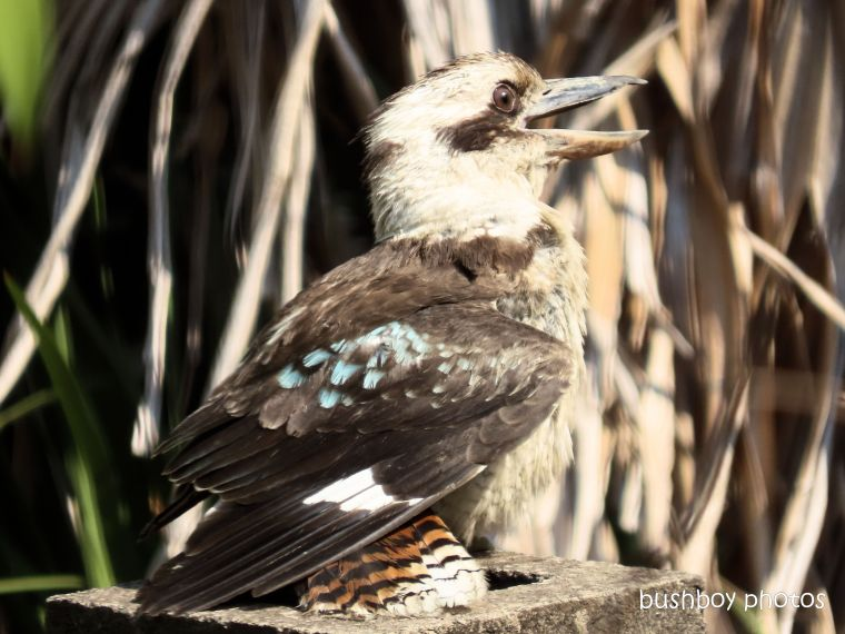 kookaburra+tail_colour_named_home_jackadgery_nov 2019