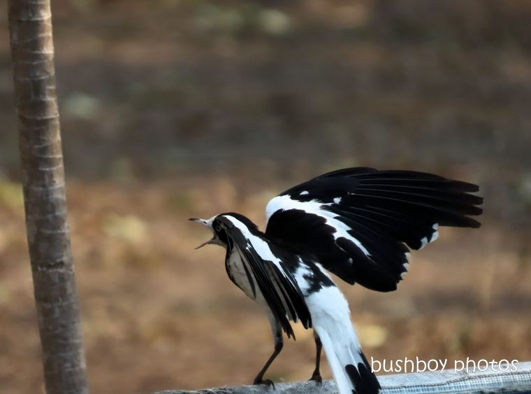 magpie lark_pee wee_garden_named_home_jackadgery_dec 2019