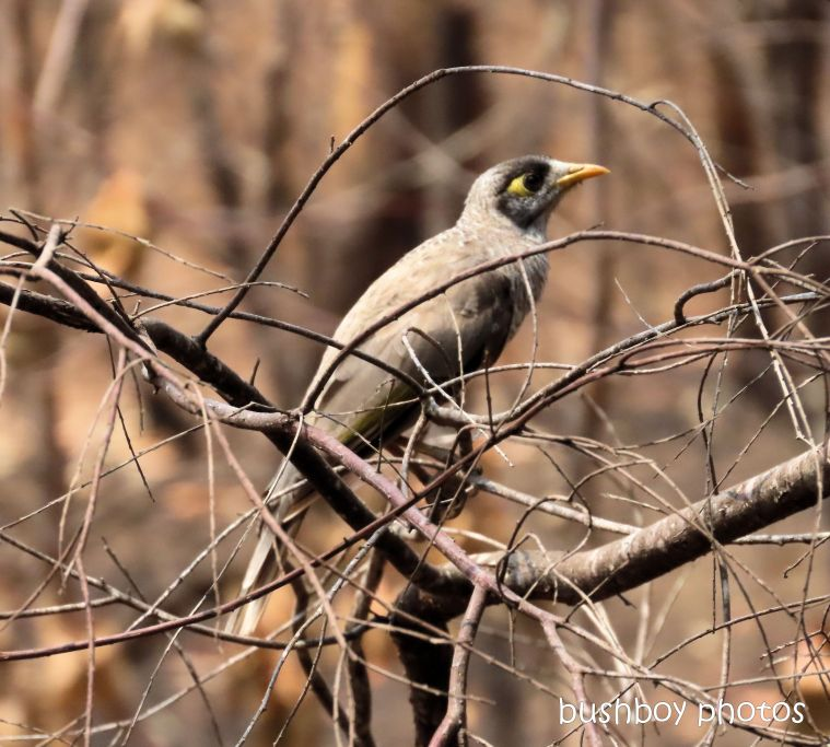 noisy miner_tree_bush_fire_durranbah_dec 2019