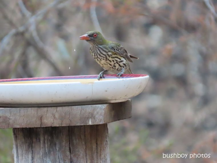 olive-backed oriel_bird bath_garden_fire_durranbah_dec 2019