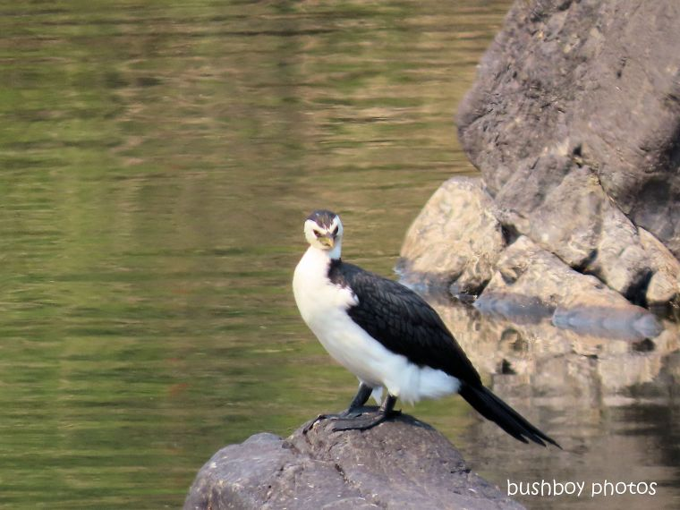 pied cormorant_mann river_named_cangi_nov 2019