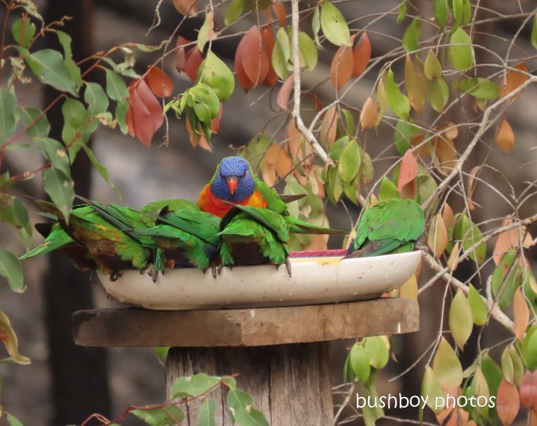 rainbow lorikeets_bird bath_fire_durranbah_dec 2019