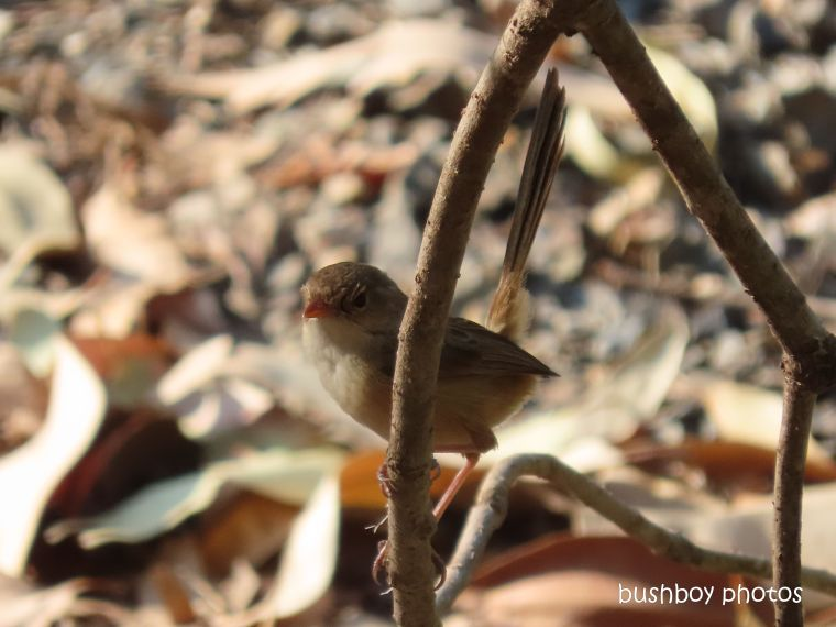 red-backed fairy wren_female_garden_fire_durranbah_dec 2019