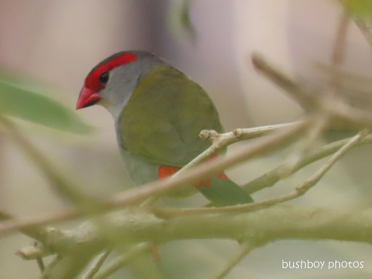 red-browed firetail finch_garden_fire_durranbah_dec 2019
