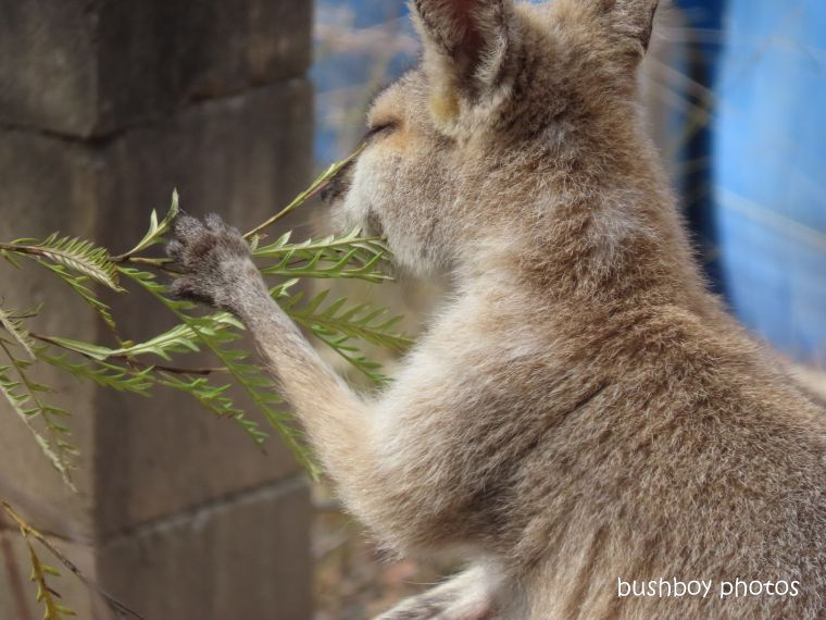 red necked wallaby_grevillea_eating_eye_named_home_jackadgery_dec 2019