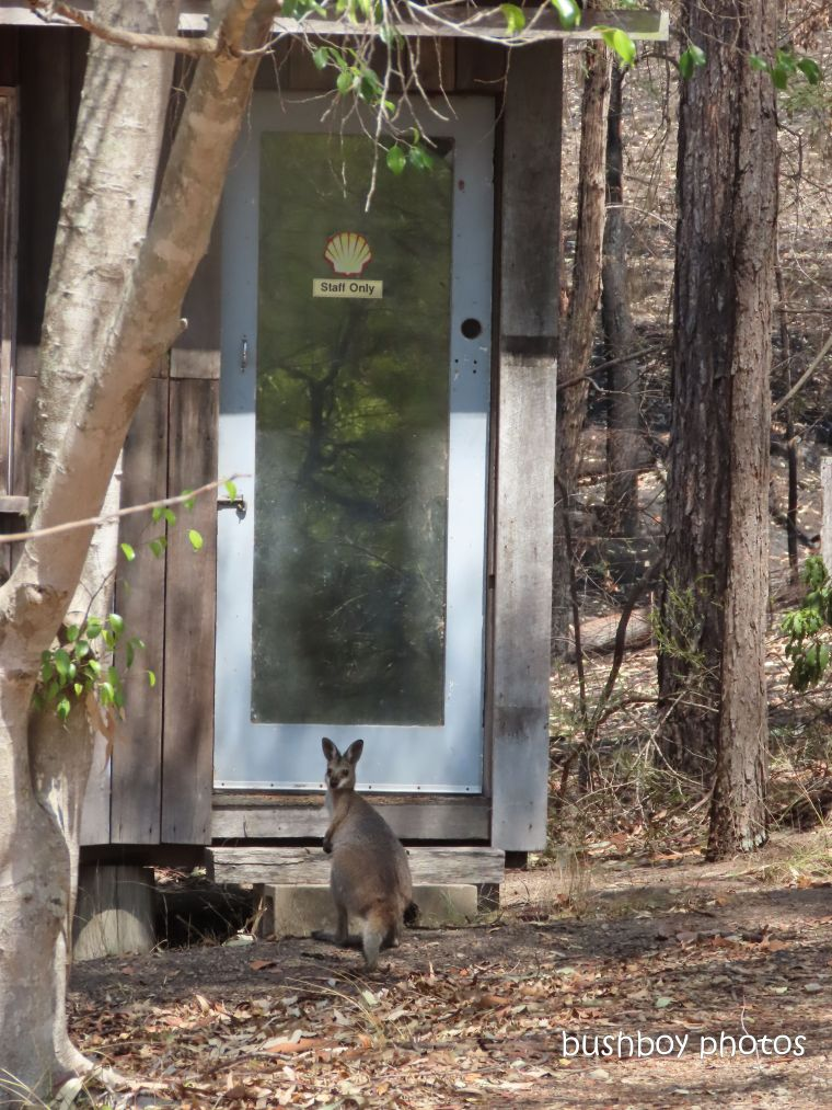 red necked wallaby_waiting_shed_named_home_jackadgery_dec 2019