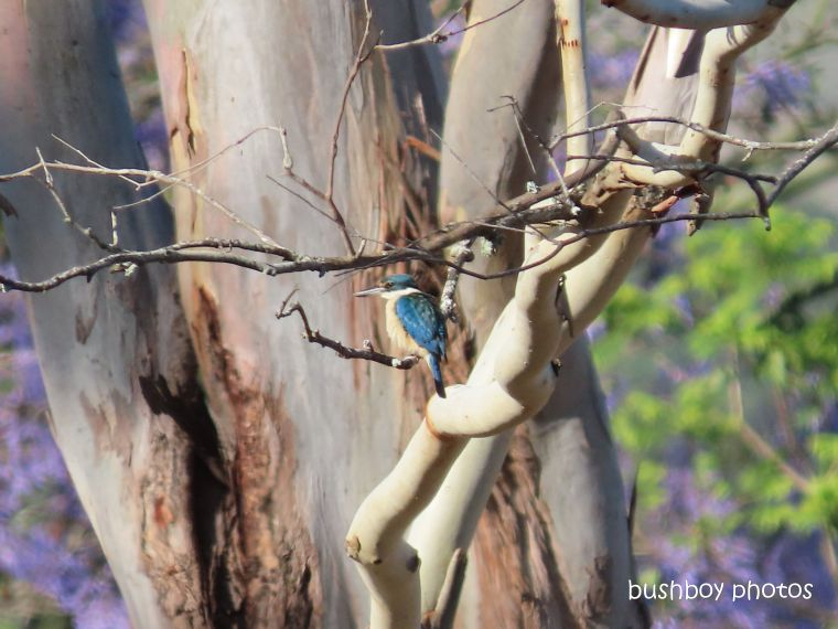 sacred kingfisher_tree_named_caniaba_dec 2019