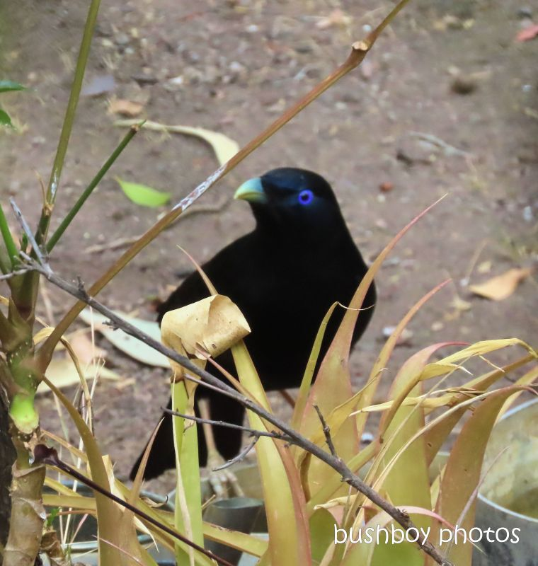 satin bowerbird_drink_ground_named_home_jackadgery_nov 2019