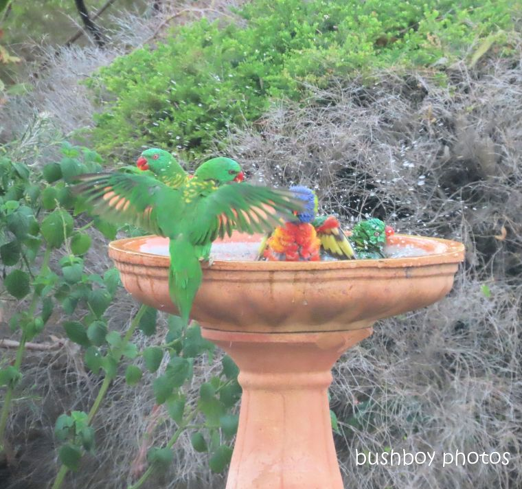 scaly-breasted lorikeets_rainbow lorikeet_flying_bird bath_named_caniaba_nov 2019