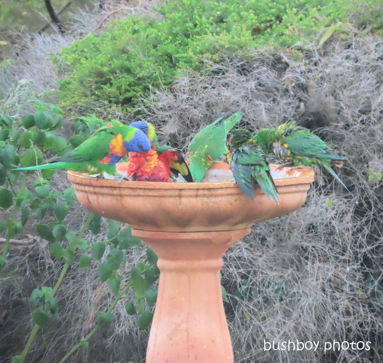 scaly-breasted lorikeets_rainbow lorikeets_croiwd_bird bath_named_caniaba_nov 2019