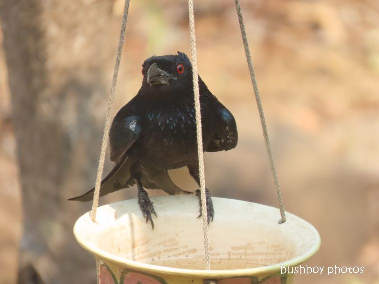 spangled drongo_bird bath_hanging pot_fire_durranbah_dec 2019