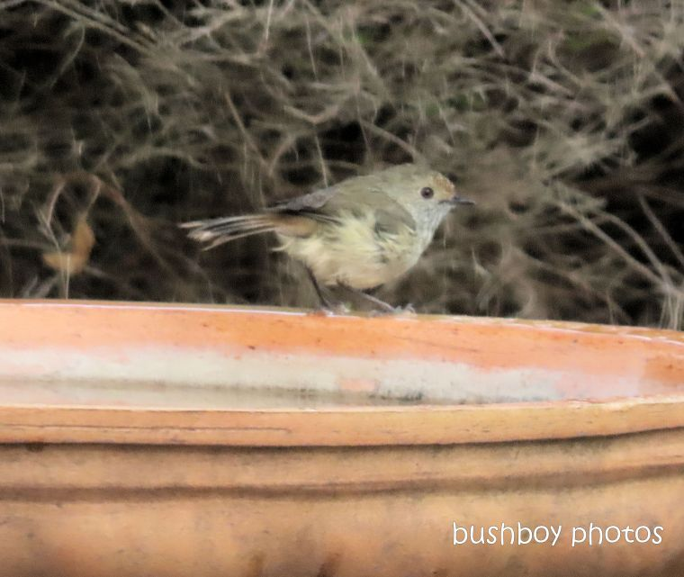 striated thornbill_bird bath_caniaba_dec 2019