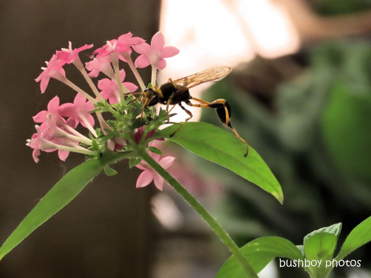 wasp_mud dauber_flower_pentas_verandah_named_home_jackadgery_dec 2019