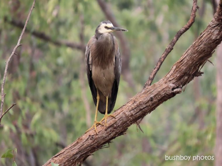 white faced heron_garden_named_home_jackadgery_nov 2019