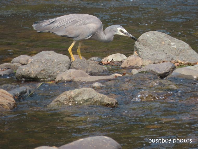 white-faced heron_mann river_named_cangi_nov 2019