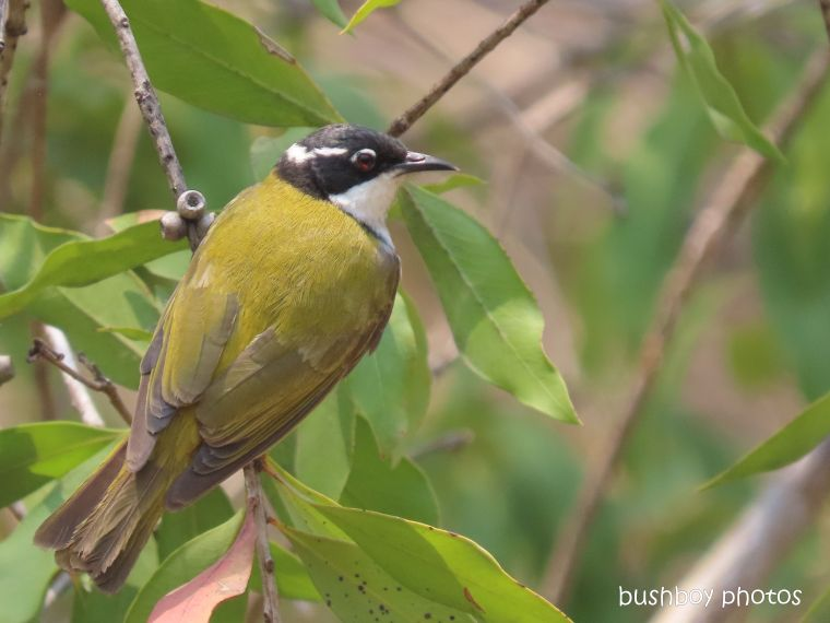 white-throated honeyeater_garden_fire_durranbah_dec 2019