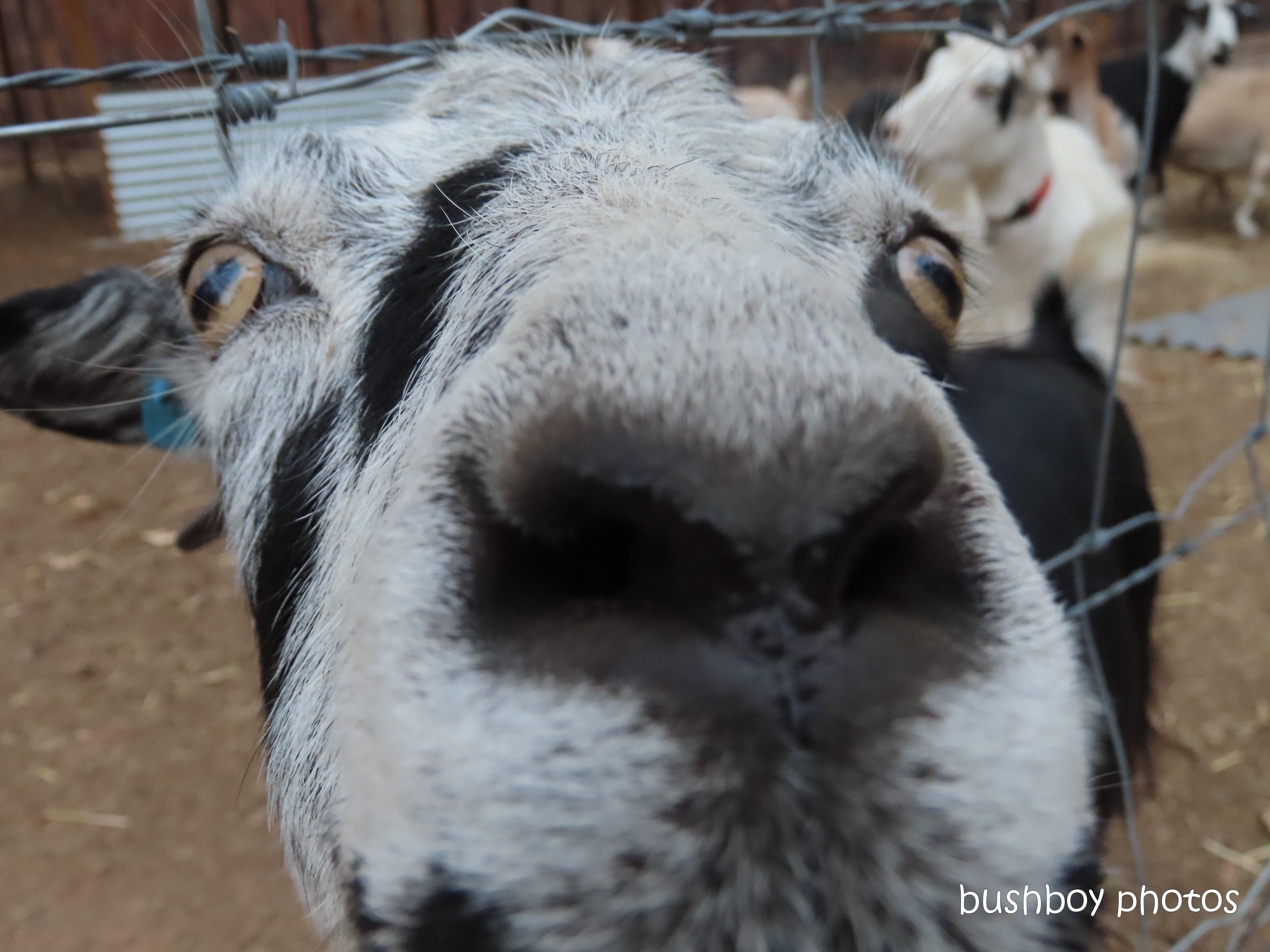 20200116_blog_challenge_joy_say cheese_goat_jackadgery