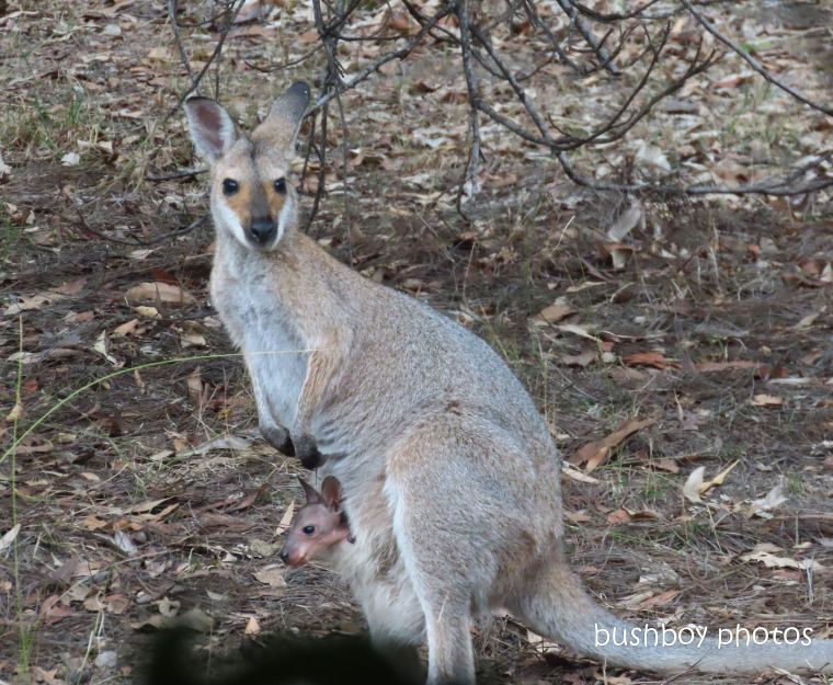 20200123_blog_challenge_joy_red necked wallaby_joey1
