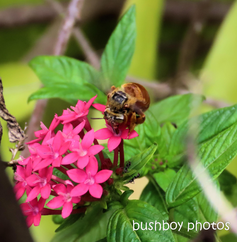 20200125_blog_challenge_six_on_saturday_teddy bear bee_pentas_durranbah_garden