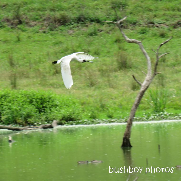 202001_blog challenge_light_flight_royal spoonbill