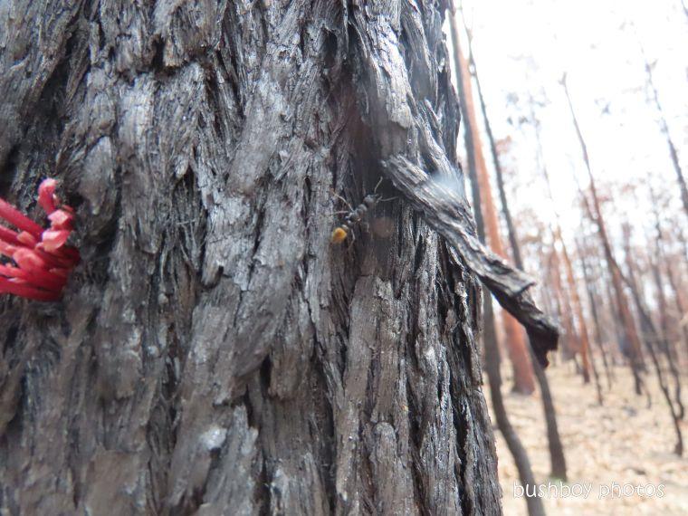 ant_tree_burnt_fire_home_jackadgery_jan 2020