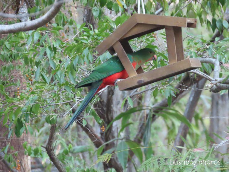 20200206_blog challenge_weekly_prompts_bird_feeder2_king parrot