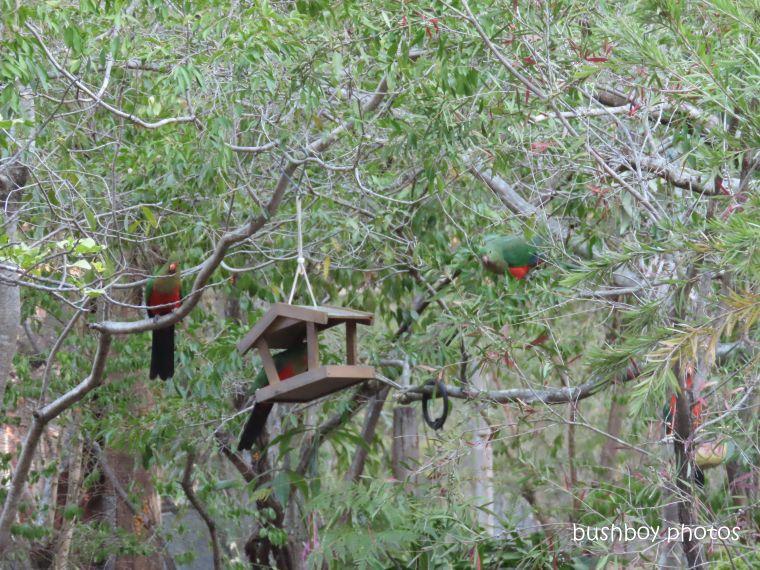 20200206_blog challenge_weekly_prompts_bird_feeder3_king parrot