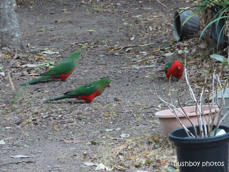 20200206_blog challenge_weekly_prompts_bird_feeder5_king parrot