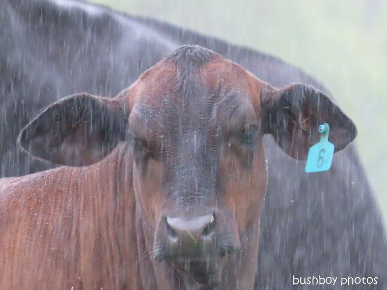 20200224_blog challenge_water water_cow_rain