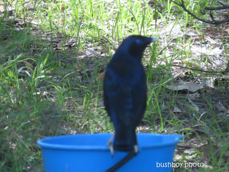 20200229_last on the card_trees_satin bowerbird_bucket