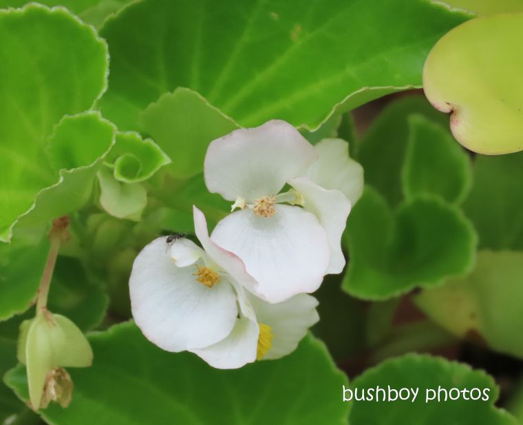 begonia_wax_flower_garden_named_home_jackadgery_jan 2020