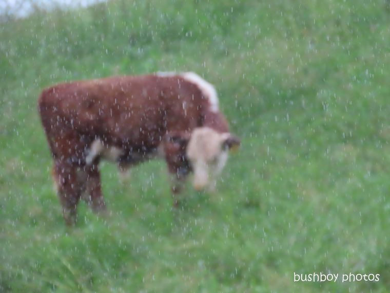 cows2_rain_named_caniaba_feb 2020