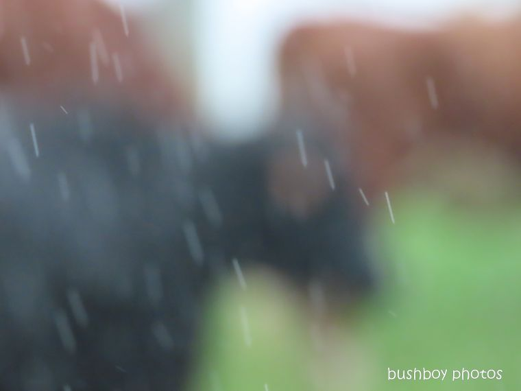 cows5_rain_named_caniaba_feb 2020