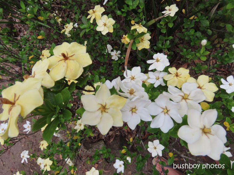 gardenias_garden_named_home_jackadgery_jan 2020