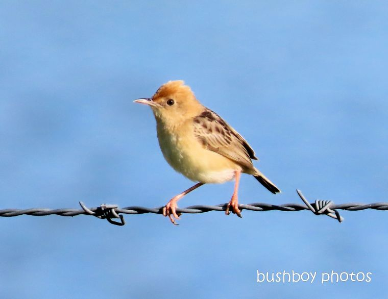 golden-headed cisticola_named_casino_jan 2020