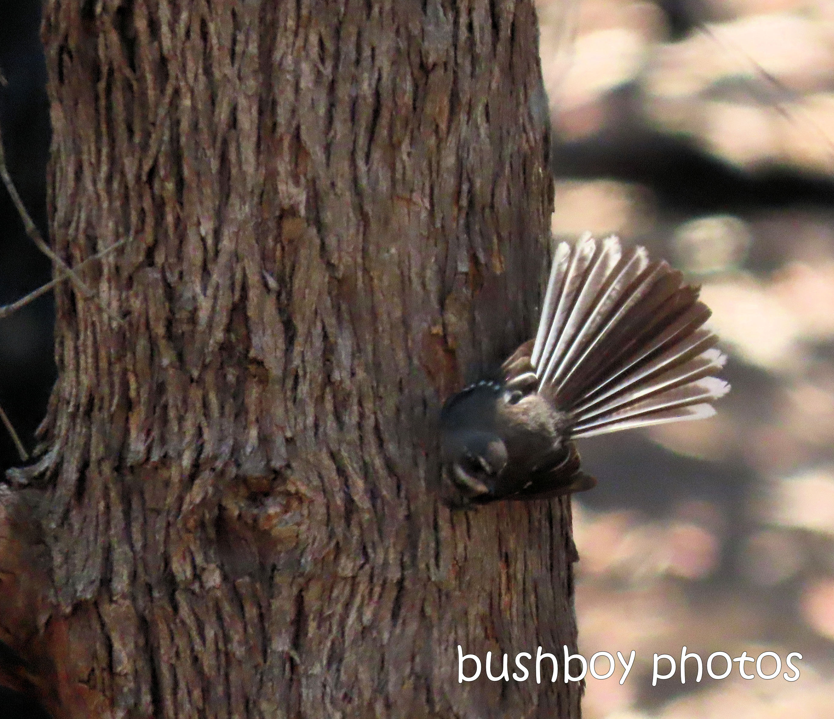 grey fantail_tree_garden_named_home_jackadgery_jan 2020