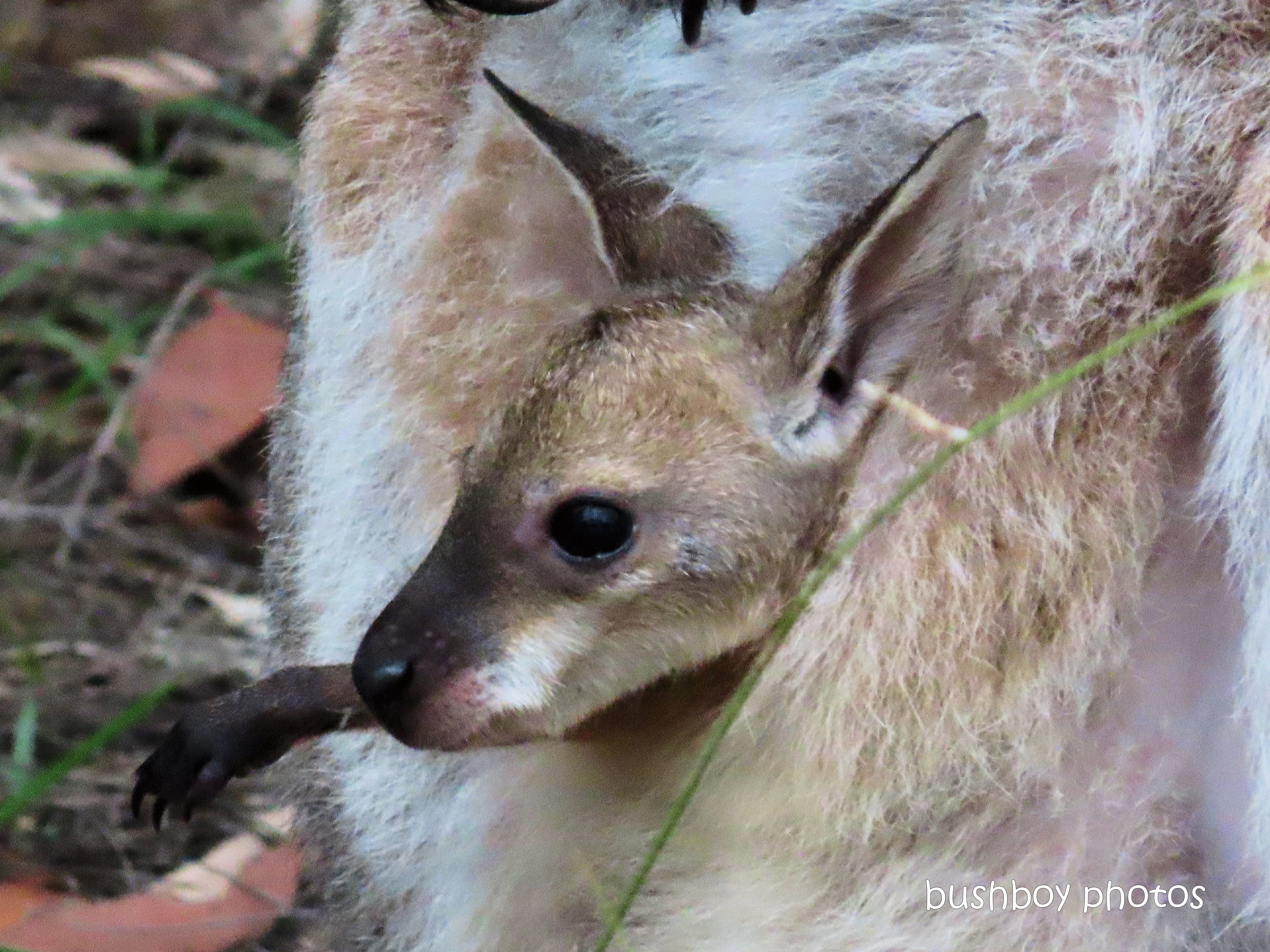 joey_red-necked wallaby_garden_named_home_jackadgery_feb 2020