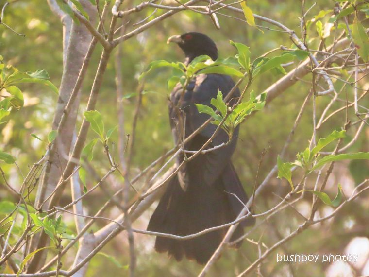 koel_male_tree_garden_named_home_jackadgery_jan 2020