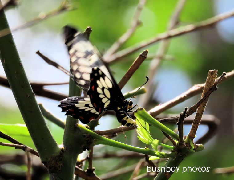 orchard butterfly_lemon tree_named_home_jackadgery_jan 2020