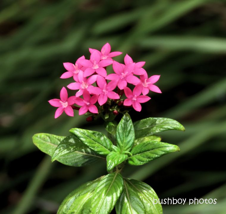 pentas_flower_pink_garden_named_home_jackadgery_jan 2020