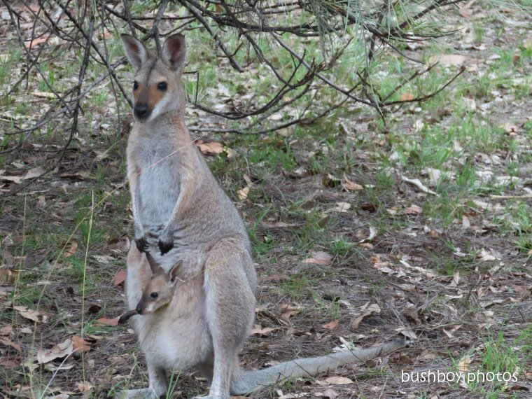 red-necked wallaby_joey_garden_named_home_jackadgery_feb 2020