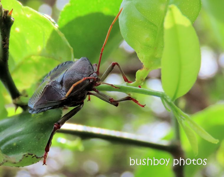 shield bug_lemon tree_named_home_jackadgery_jan 2020