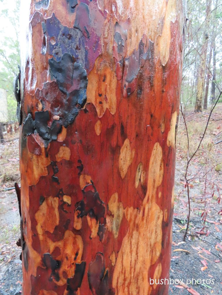 spotted gum_bark_colour_named_home_jackadgery_jan 2020