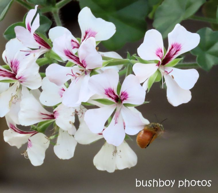 teddy bear bee_geranium_flower_pot_named_home_jackadgery_jan 2020