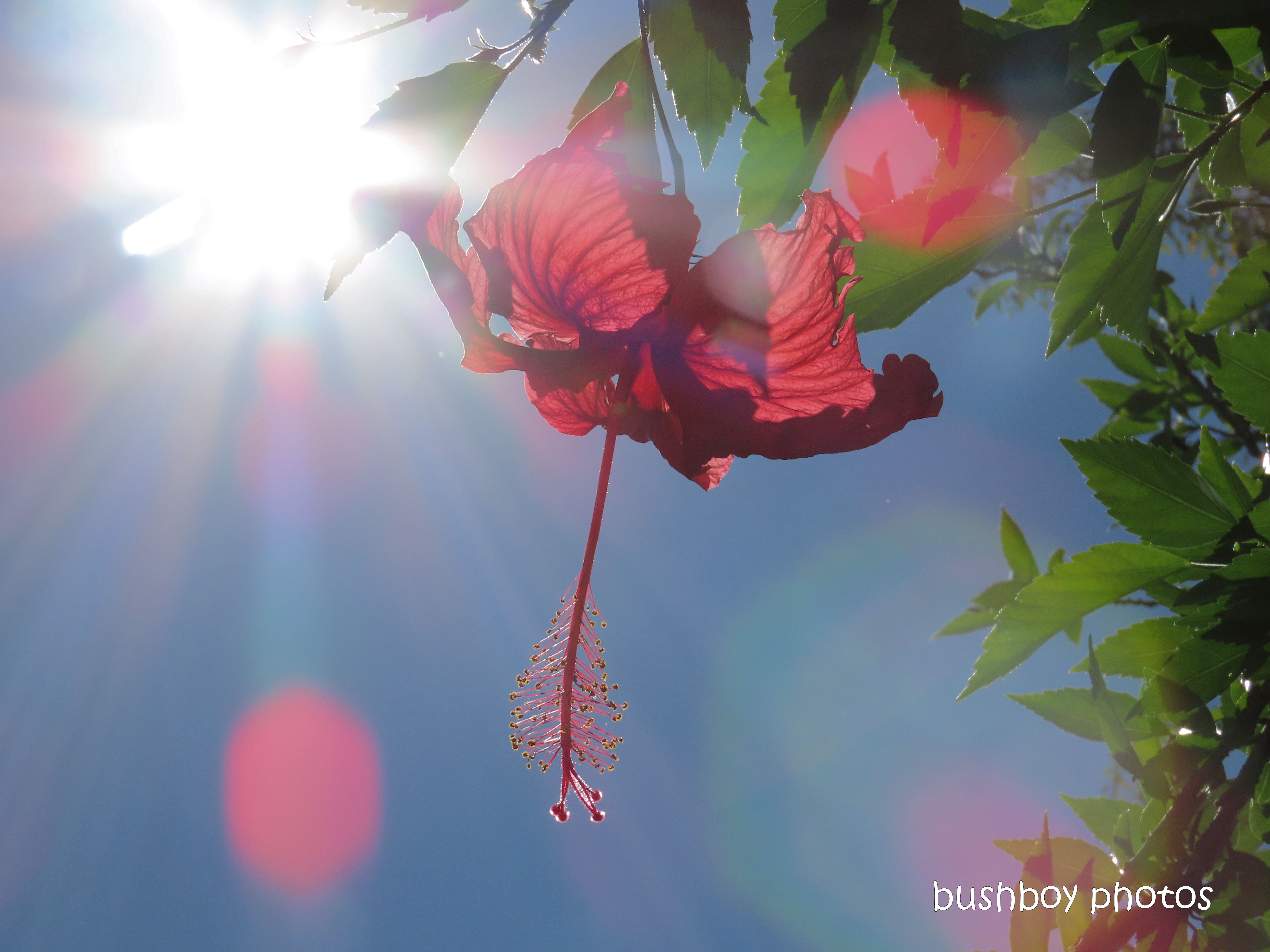 20200314_blog challenge_floral friday_hibiscus_sun_durranbah
