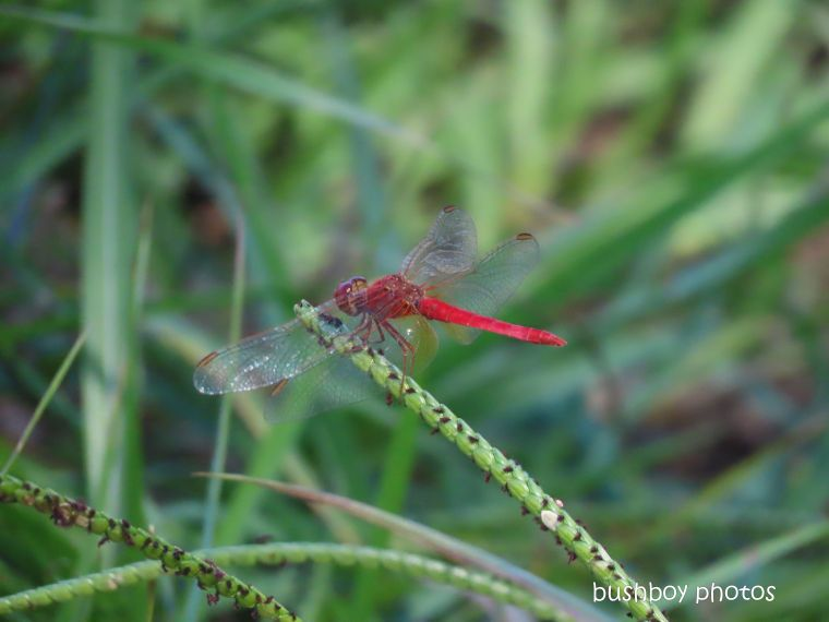 20200323_blog challenge_im a fan of_dragonflies_red