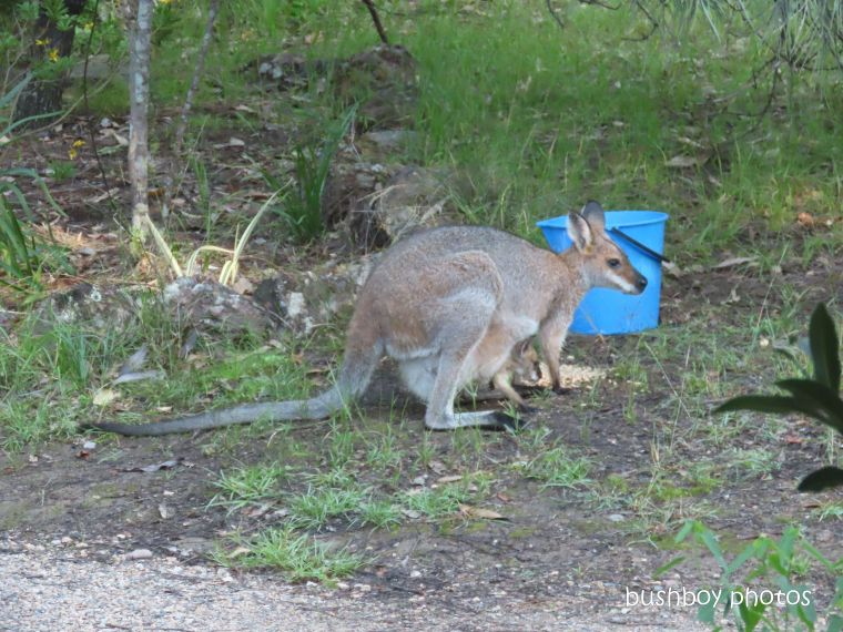 20200326_1_blog challenge_diary_red necked wallaby_joey_home_jackadgery