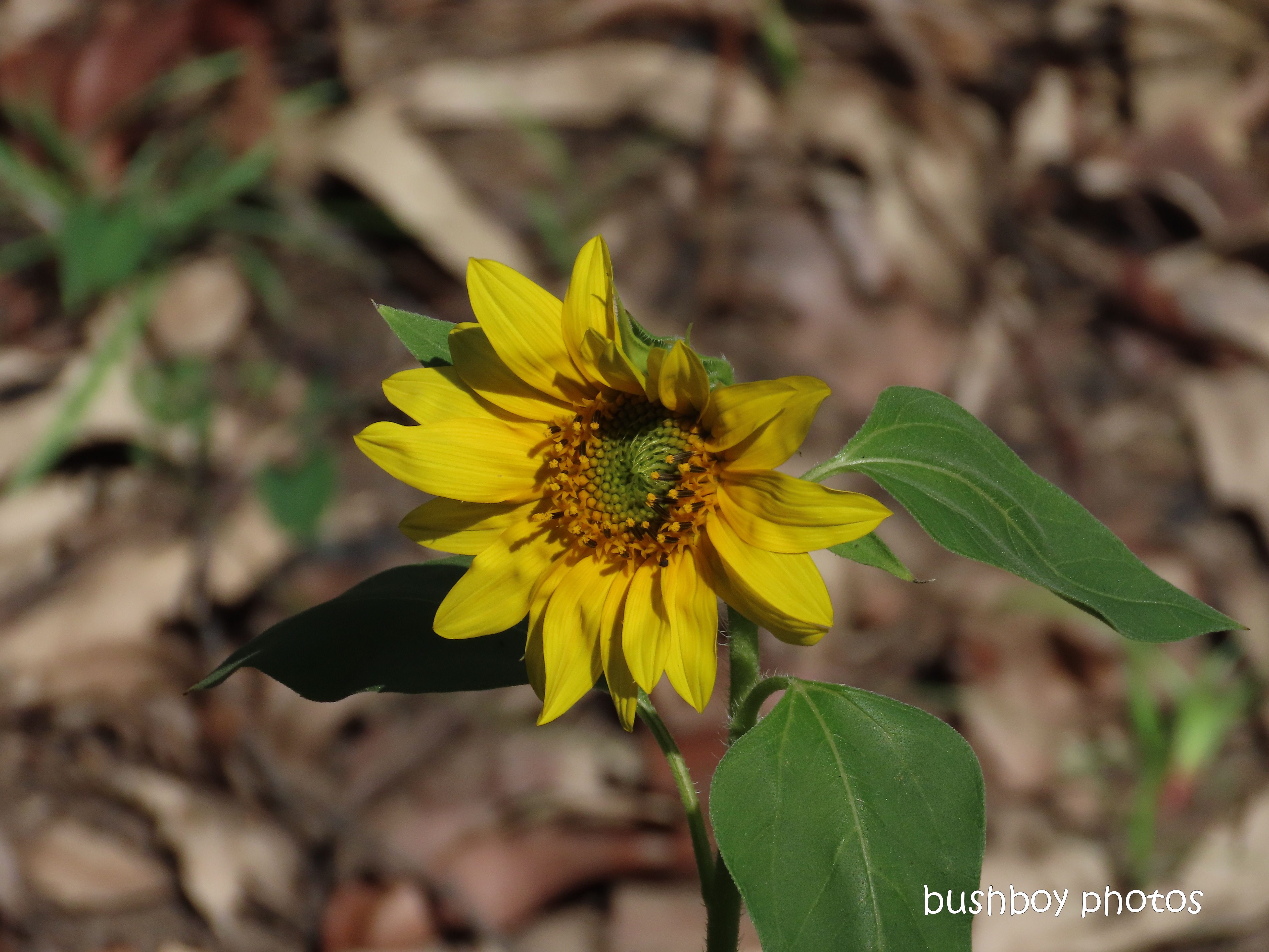 20200326_4_blog challenge_diary_sunflower_durranbah