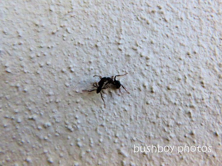 ants_wall_named_caniaba_feb 2020