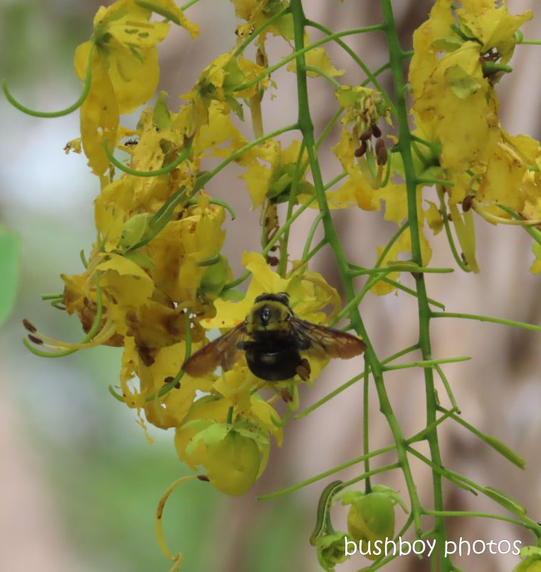 bee_carpenter_cassia_flower_garden_named_home_jackadgery_feb 2020